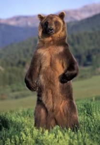 grizzlybearstanding